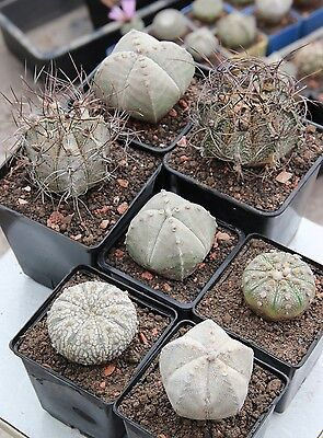 120 Seeds  Astrophytum Asterias Myriostigma Capricorne  Own Greenhouse