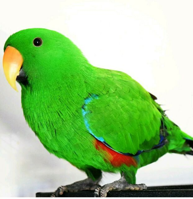 Gumtree Ballina Accent Chair: Lost Parrot Green Eclectus From Wardell