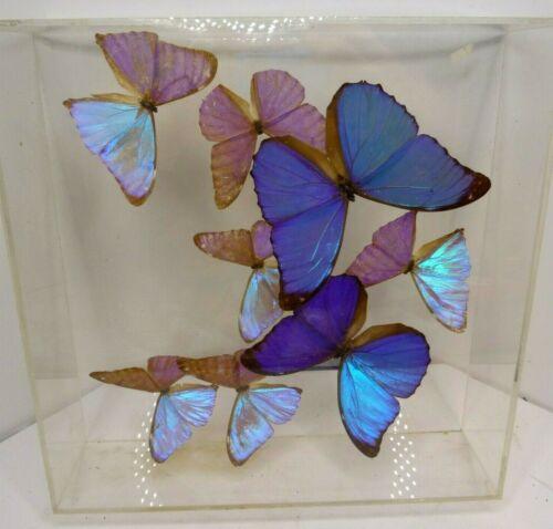 Taxidermy 8 Blue Morpho Butterfly Butterflies Lucite Frame Beautiful
