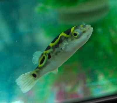 Figure 8 Puffer - Pufferfish, Brackish Water Tropical Fish