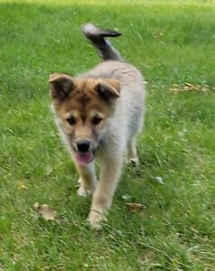 ***Price Reduced!*** $975!!! Last POMSKY puppy available!