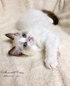 Gorgeous Show Quality TICA Registered Female Ragdoll