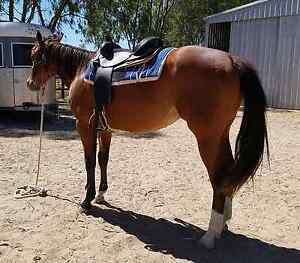 **QUIET BAY PAINTBRED 2YR FILLY** Herne Hill Swan Area Preview