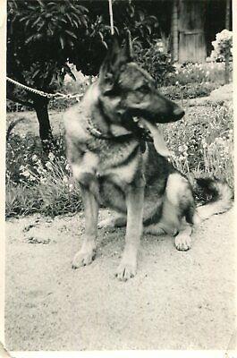 Photo en juillet 1962 d'un beau chien qui semble un berger allemand
