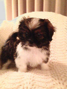 Shih Tzu x Bichon Puppies! Adorable!!