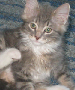 Beautiful Silver Tabby with  Ultra long Female
