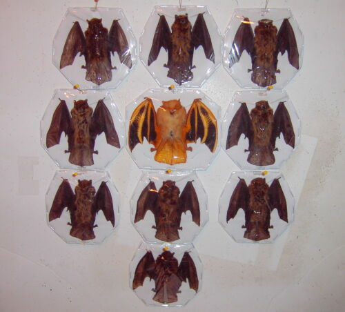 Bat Taxidermy Extra Small 2 Species In Rare Folded Flying Position 10 Lot