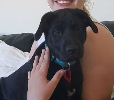 Labrador X Puppy Booval Ipswich City Preview
