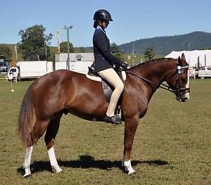 SOLD PENDING PAYMENT  -----Stunning  Flashy  Quiet QH Gelding Woodford Moreton Area Preview