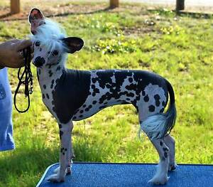 Chinese Crested female Lost North Melbourne Melbourne City Preview