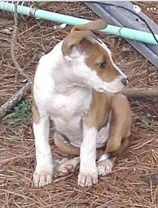 Puppies For Sale Wingham Greater Taree Area Preview
