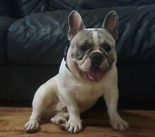 IMPORTED BLUE FAWN PIED MALE FRENCH BULLDOG 13 MONTHS OLD Wamuran Caboolture Area Preview