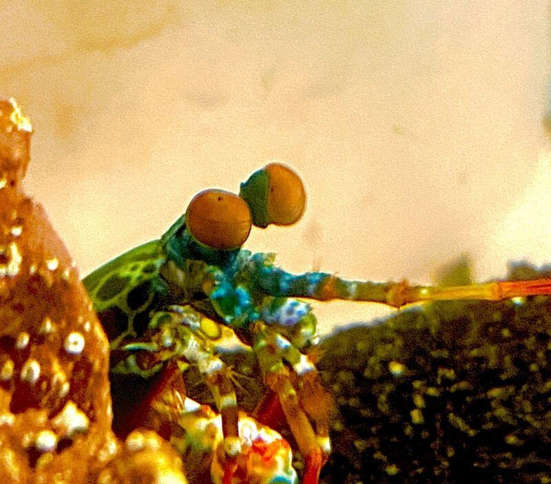 PEACOCK MANTIS SHRIMP FREE SHIPPING  Live Marine Coral Fish Shrimp Crazy