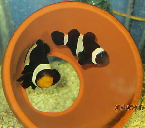 Salt Water Clownfish