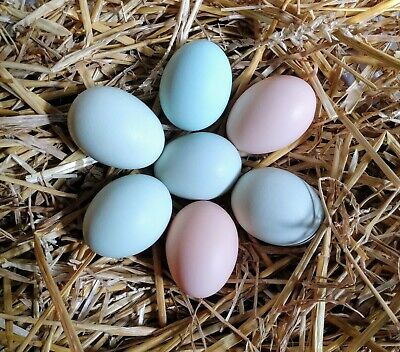 6+ Easter Egger Hatching Eggs