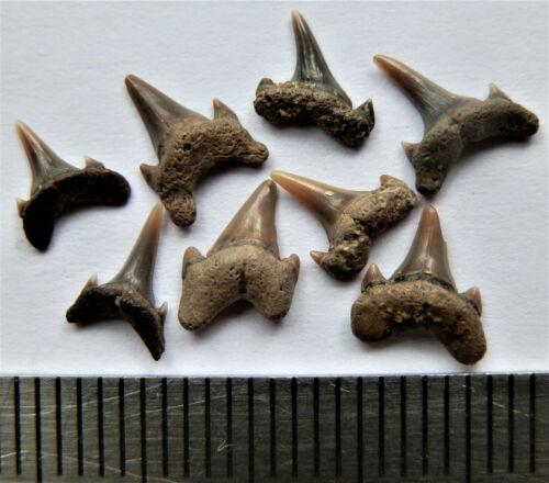 Mesozoic Era Shark tooth, Cretaceous of Russia.