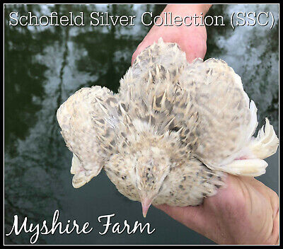 25 Ssc Silver Coturnix Quail Hatching Eggs By Myshire So Many Varieties