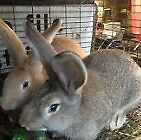 Giant Rabbits for sale