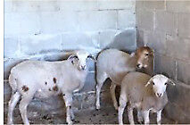Wanted: Lost / Stolen 3 Cross dorpers Sheep 2 ewes 1 ram Tagged