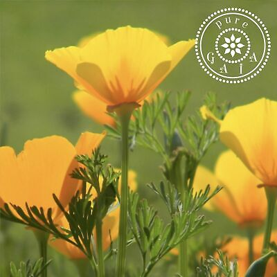 Californian Poppy (Eschscholzia california) Aerials MEDICINAL DRIED HERB TEA