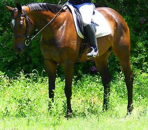 SOLARIS: SWEET, QUIET, AFFECTIONATE CONFIDENCE BOOSTER FOR SALE Beaudesert Ipswich South Preview