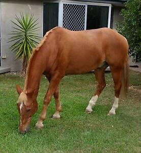 Stock horse x Belgian Draft Jimboomba Logan Area Preview