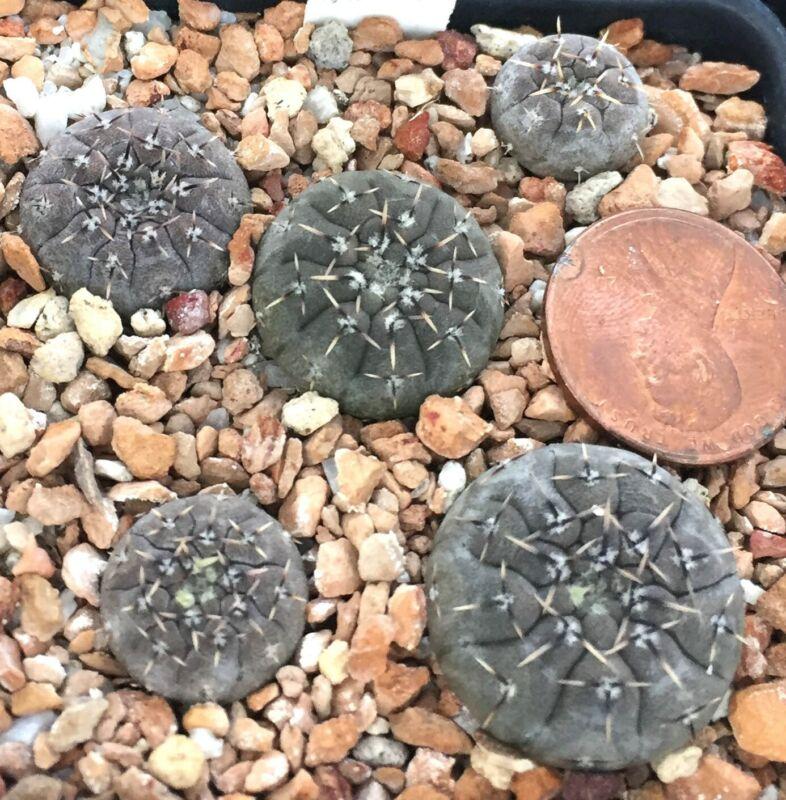 Cactus Plant--Gymnocalycium platygonum, Salinas Grande--ONE Seedling from Pot!