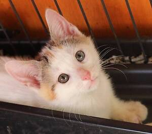 Connie - the sweetest kitten Mascot Rockdale Area Preview