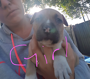 American staffy pups Rothwell Redcliffe Area Preview