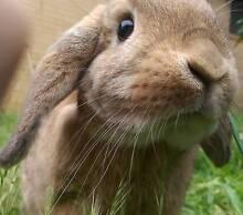 Fawn lop x dwarf desexed female rabbit 2 years old Glen Waverley Monash Area Preview