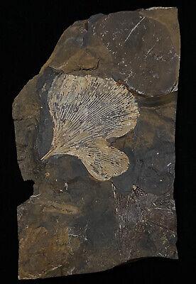 Sweet Ginkgo cranei Tree Leaf Fossil