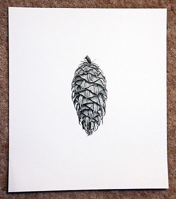 Beautiful botanical limited edition signed print 'Douglas Fir Cone' by Ann Swan