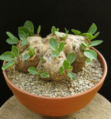Pachypodium brevicaule,Caudex,Euphorbia,Bulb
