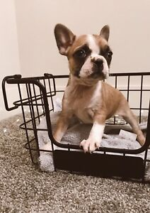 ADORABLE FRENCHTON PUPPIES ♥️
