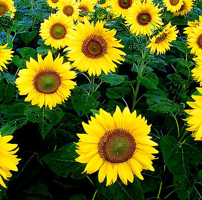 Sunflower Giant Yellow Single 50 seeds - Annuals