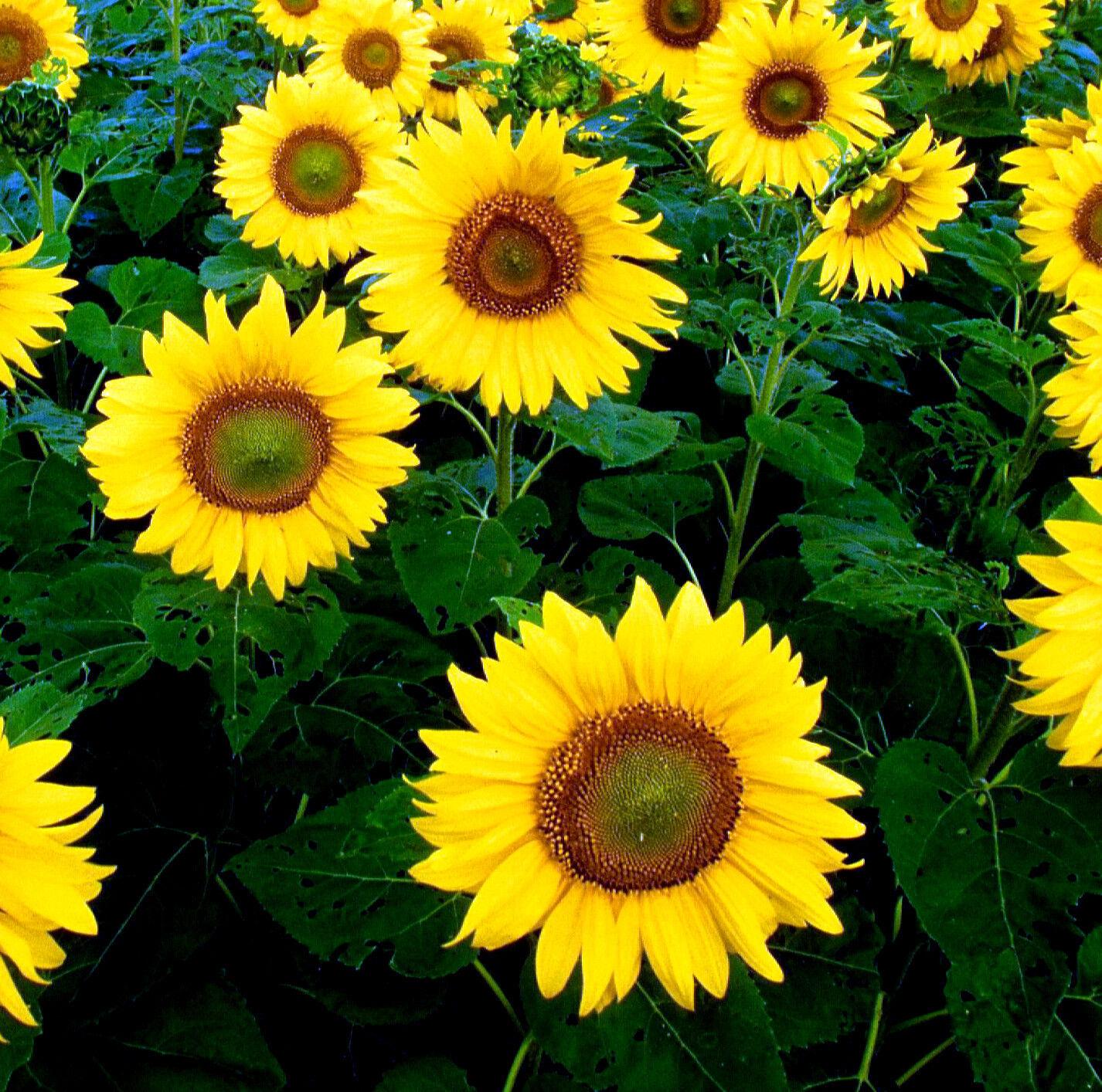 sonnenblumen riesig gelb einzeln 50 samen einj hrige pflanzen ebay. Black Bedroom Furniture Sets. Home Design Ideas