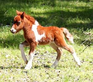 PINTO MINIATURE HORSE BABY FOAL $125.00 A WEEK PLAN Margaret River Margaret River Area Preview