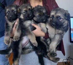 Wanted: German Shepard puppies