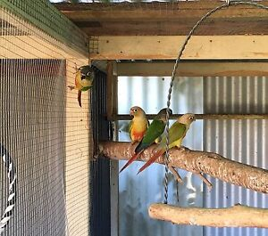 Green Cheek & Pineapple Conures Warragul Baw Baw Area Preview