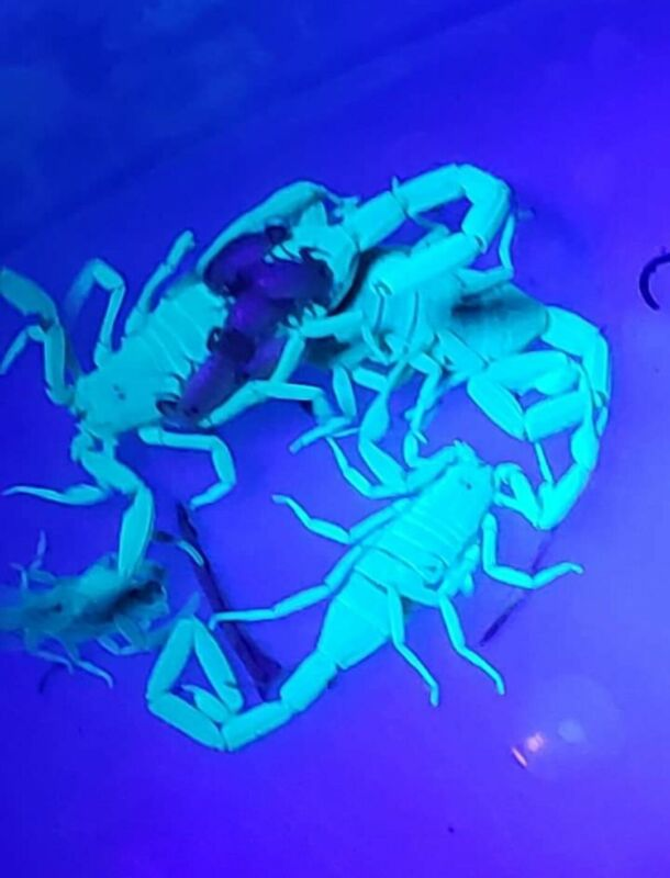 "(1)LIVE FIELD COLLECTED ""FEEDER"" Arizona Bark Scorpion Centruroides sculpturatus"