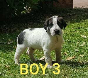 Male Catahoula/Mastiff x Staghound PUP FOR SALE