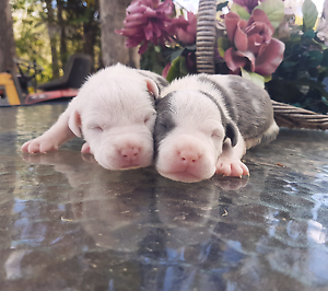 Stunning Purebred Blue American Staffy Puppies  (Females) Brisbane City Brisbane North West Preview
