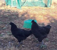 Pullets and a cockerel (chickens) Bywong Queanbeyan Area Preview