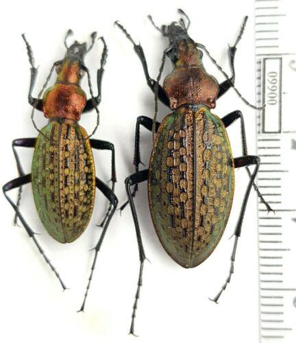 Carabidae Carabus (Acoptolabrus) schrencki ?hauryi Russia, Russky Isl. PAIR