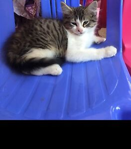 Ragdoll Mix Kitten Mount Annan Camden Area Preview
