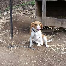 Female pup for sale Bagdad Southern Midlands Preview