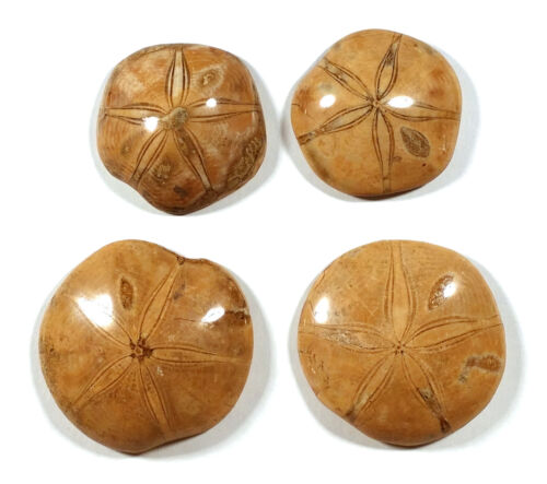 4 POLISHED FOSSILIZED SAND DOLLARS FOSSILS ECHINOIDS TOTAL WEIGHT 596.6 GRAMS