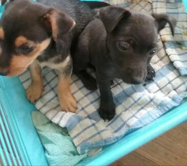 Chihuahua cross pups m and f