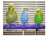 Two budgie's with cage