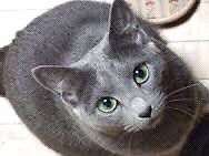 ISO: Female Russian Blue Cat